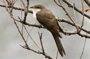 Yellow-billed Cuckoo. Photo: Dominic Mitchell.