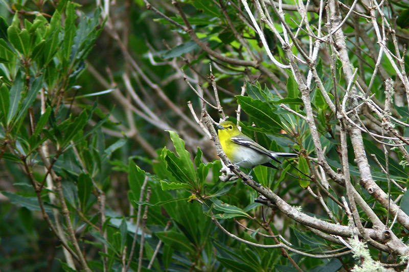 Yellow-throated Vireo. Photo: Dominic Mitchell.