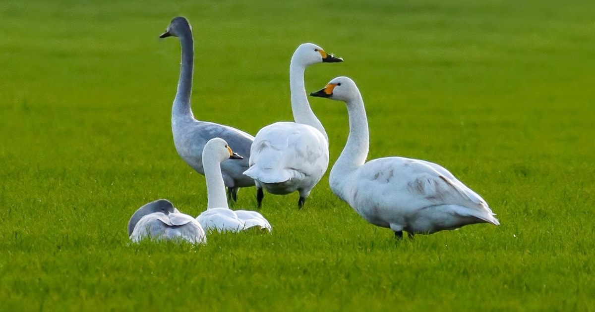 Northern Germany a new haven for Bewick's Swan
