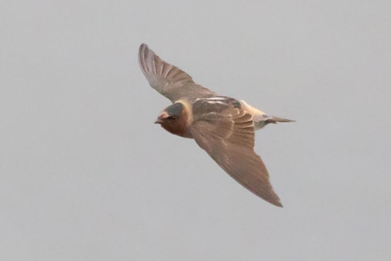 Rarity finders: American Cliff Swallow on Skye