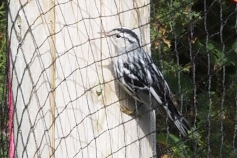 Rarity finders: Black-and-white Warbler on St Martin's