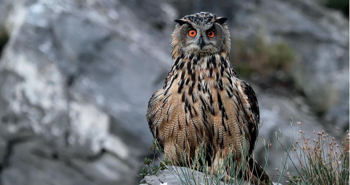 Eagle owls predate flamingos in the Camargue