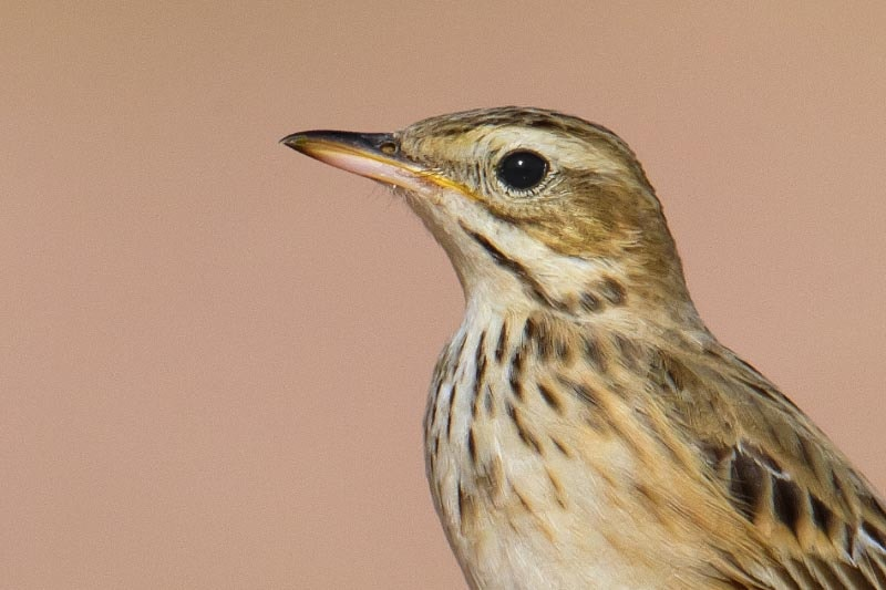 Richard's, Blyth's and Tawny Pipits photo ID guide