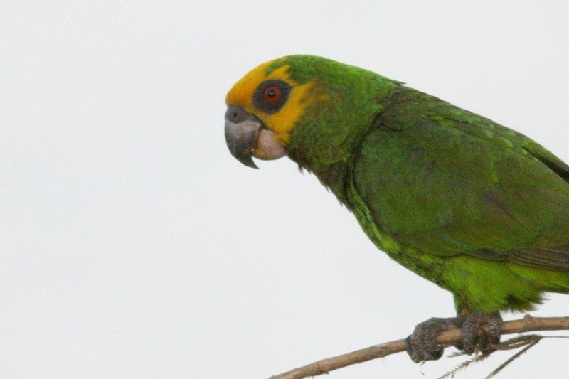 Ups and downs for endemic parrots and coffee in Ethiopia