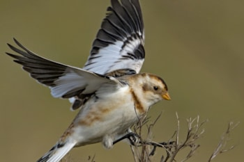 Snow Bunting  by Martyn Jones