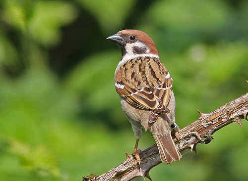 Tree Sparrow. Photo: Peter Alfrey.