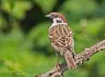 Tree Sparrow. Photo: Peter Alfrey.