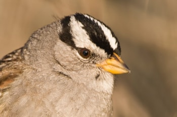 White-crowned Sparrow, California by Mike Baird (commons.wikimedia.org)