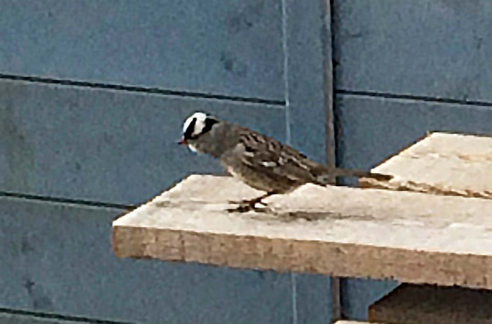 Rarity finders: White-crowned Sparrow on Islay