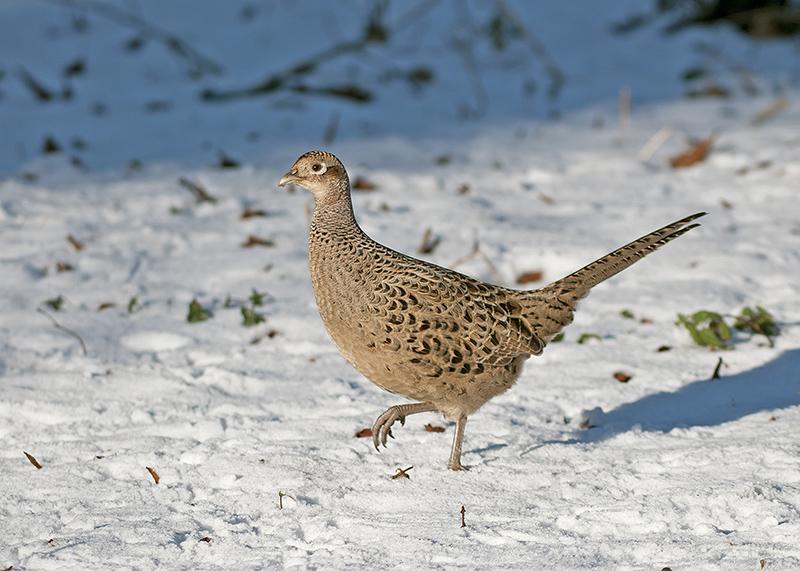 Quiz pheasant