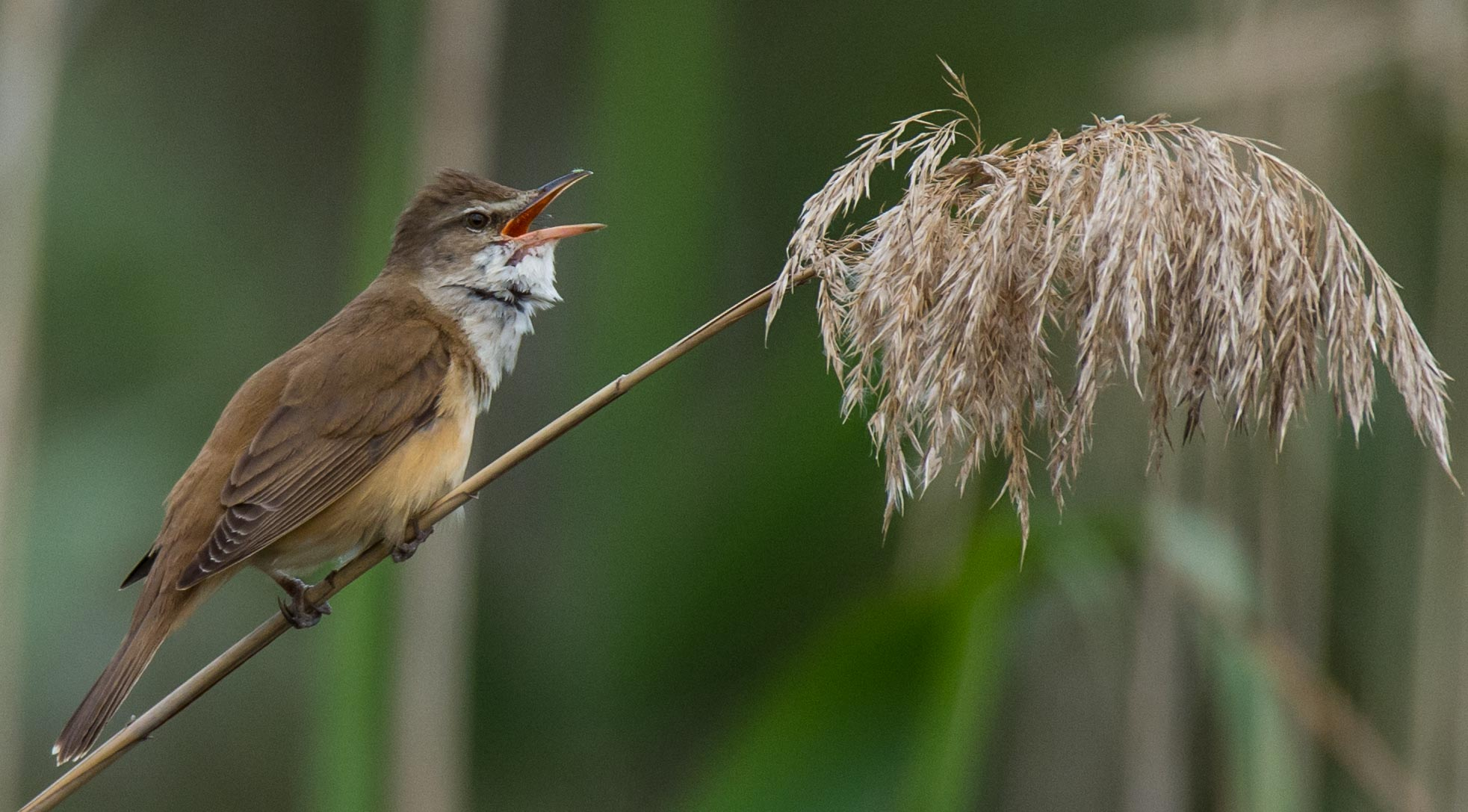 Tracking Great Reed Warbler Migration Birdguides