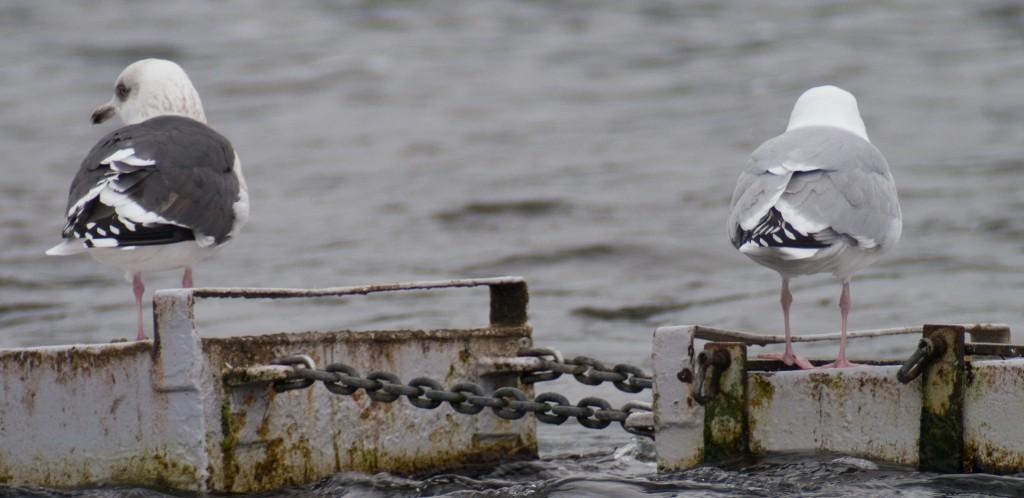 Slaty-backed Gull