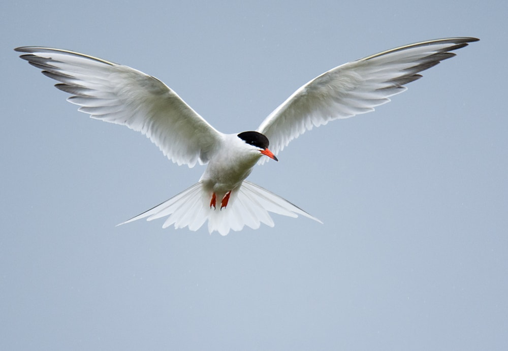 Image result for Common tern