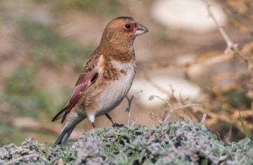 Asian Crimson-winged Finch (Dave Walker).