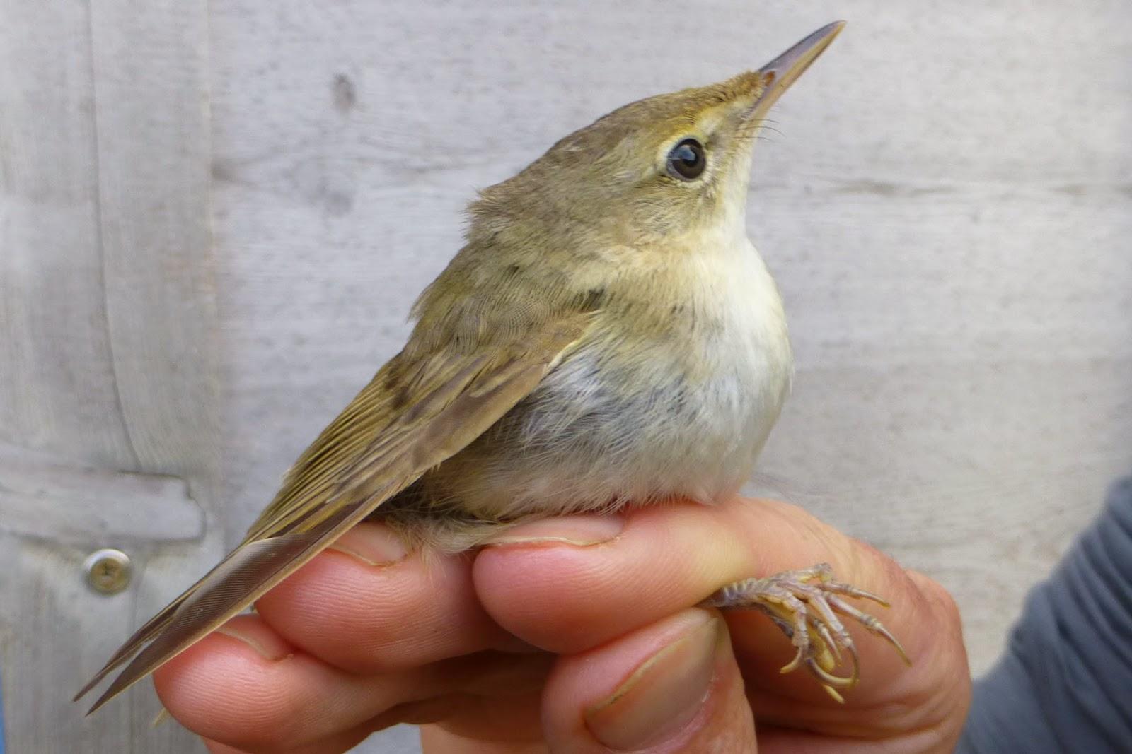 Blyth's Reed Warbler