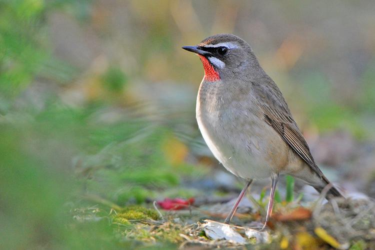 Details : Siberian Rubythroat - BirdGuides