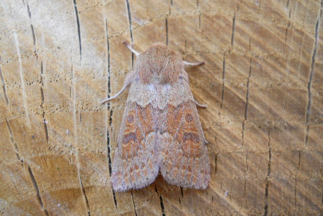 Blossom Underwing
