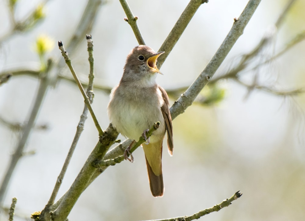 Common Nightingale may not be the most extravagant-looking bird 6a7cbf2e6521f