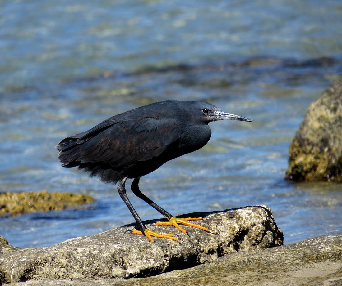 details black heron birdguides
