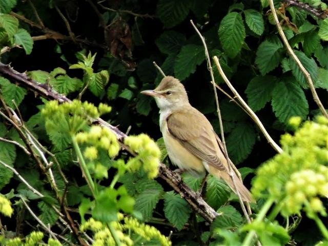 Great Reed Warbler