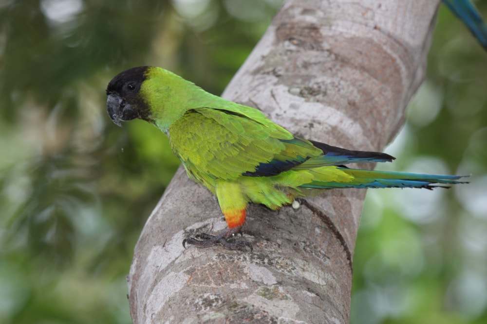 The parakeets of Barcelona - BirdGuides
