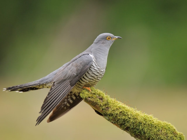 Deceitful Cuckoos Terrify Their Hosts During Egg Laying
