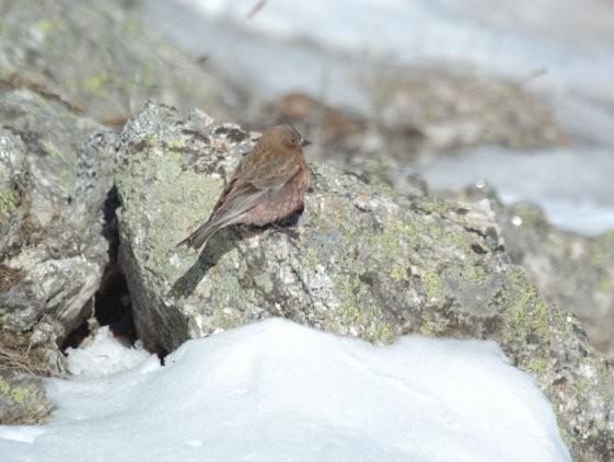 Details : Leucosticte - BirdGuides