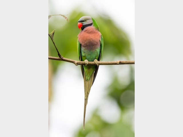 Details : Red-breasted Parakeet - BirdGuides