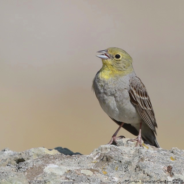 Cinereous Bunting