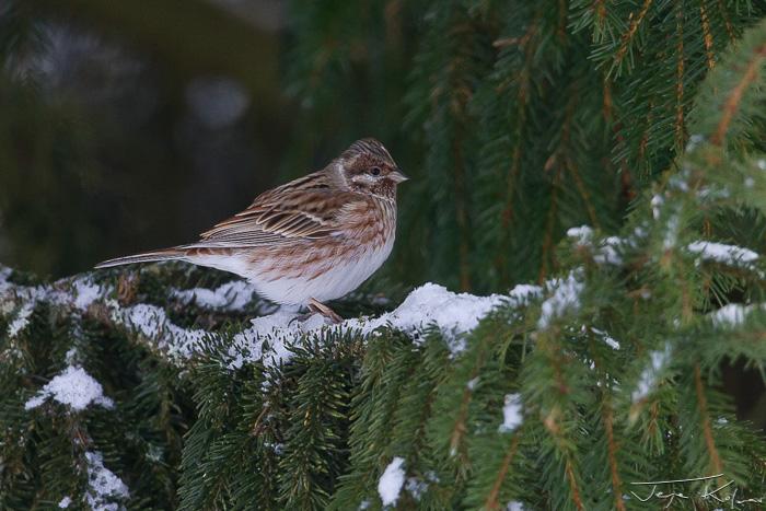 Pine Bunting