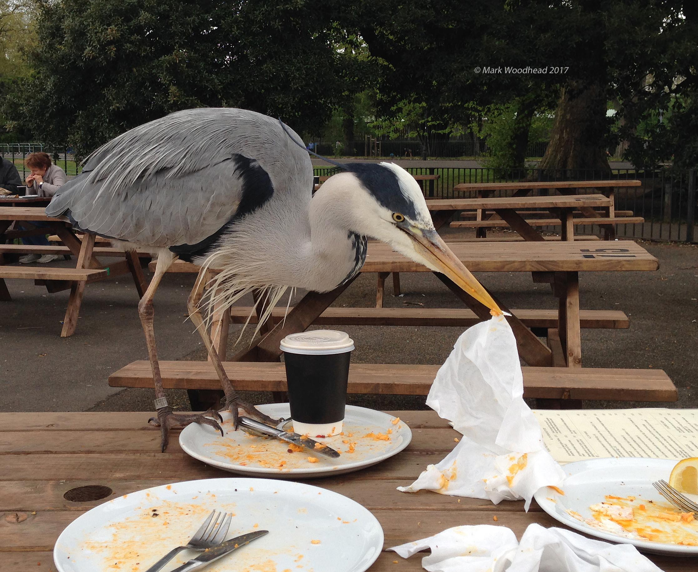 Grey Heron, Battersea, Greater London, 17 April 2017 (Photo: Mark Woodhead)