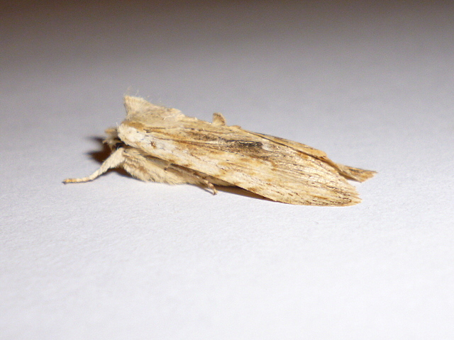 Pale Pinion