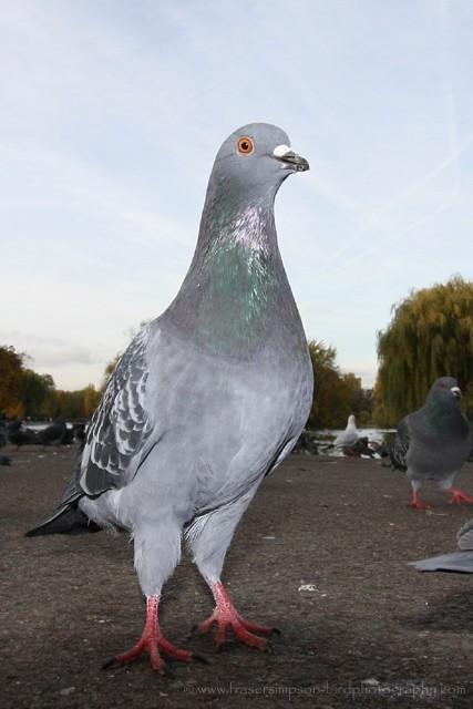 Feral Pigeon/Rock Dove