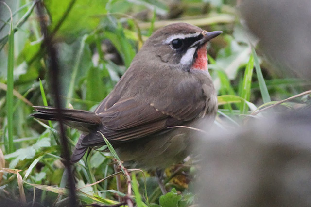 Review of the Week: 17th–23rd October - BirdGuides