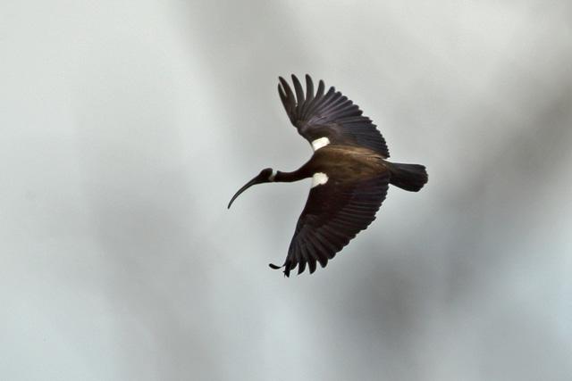 White-shouldered Ibis