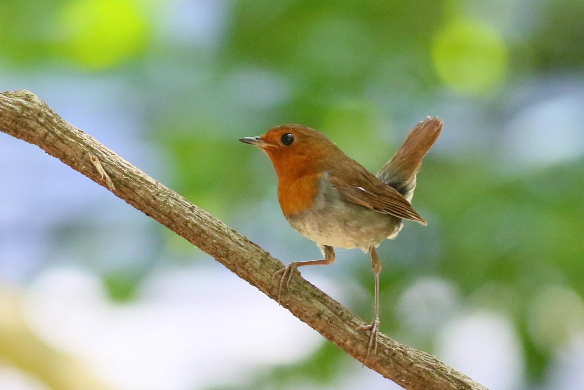 Japanese Robin