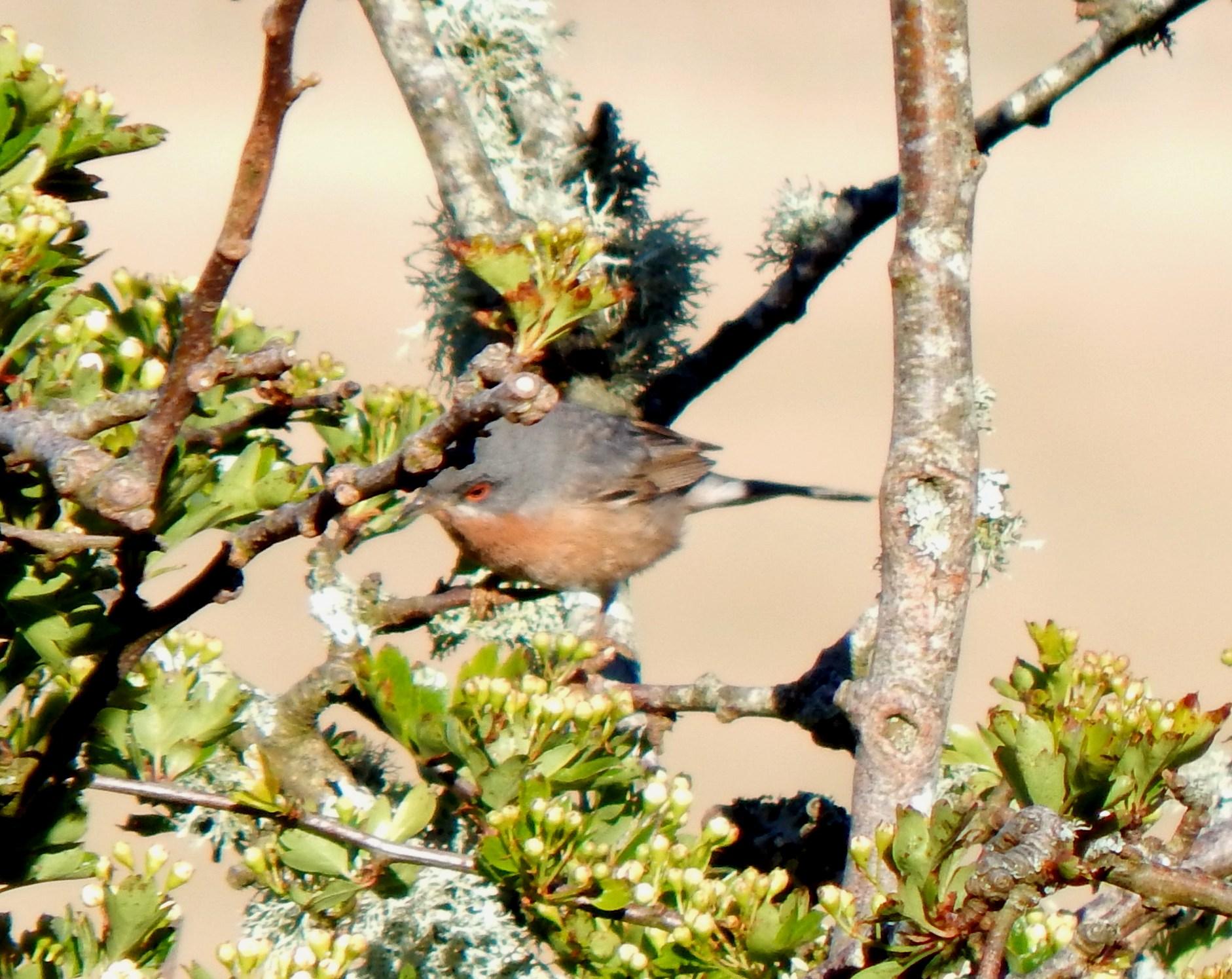 Western Subalpine Warbler