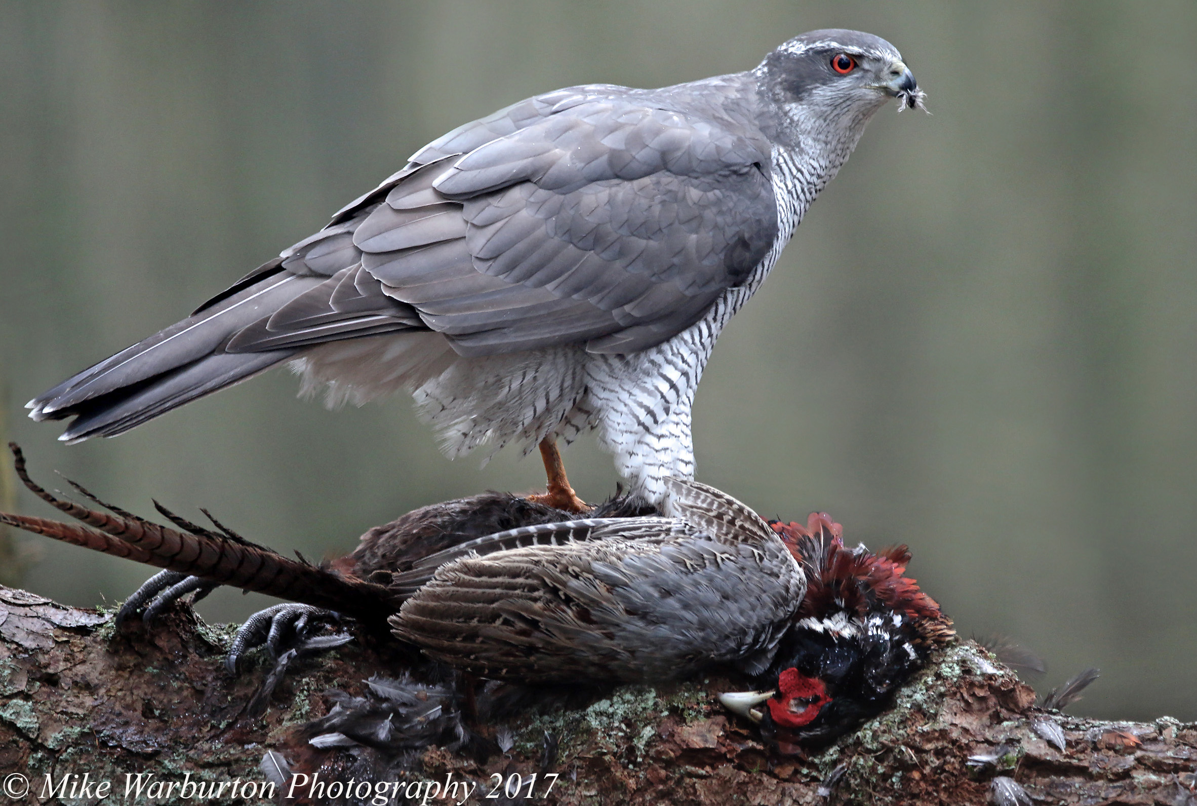 Northern Goshawk, Brecon Beacons, Powys, 22 January 2017 (Photo: Mike Warburton)