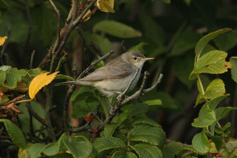 Eastern Olivaceous Warbler