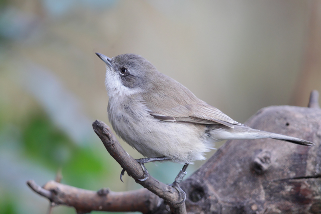Central Asian Lesser Whitethroat