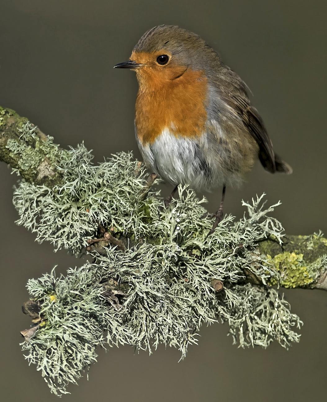 Seasonal threat to Christmas card Robins - BirdGuides