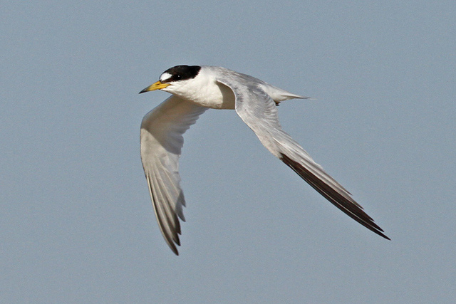 Saunders' Tern