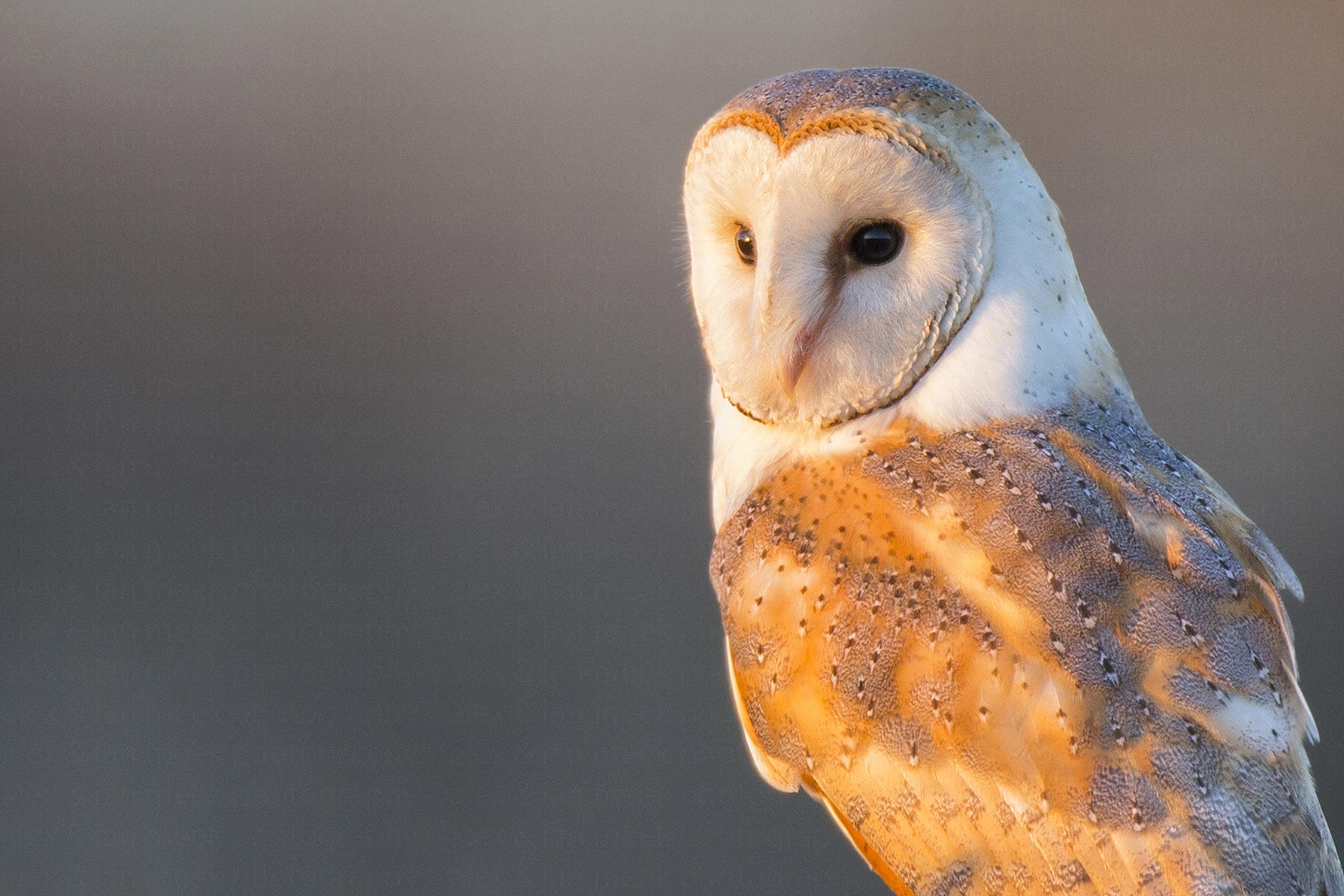 British Barn Owls struggle to adapt to modern life ...