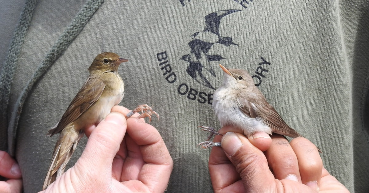 Eastern Olivaceous and River Warblers on Fair Isle, June 2019