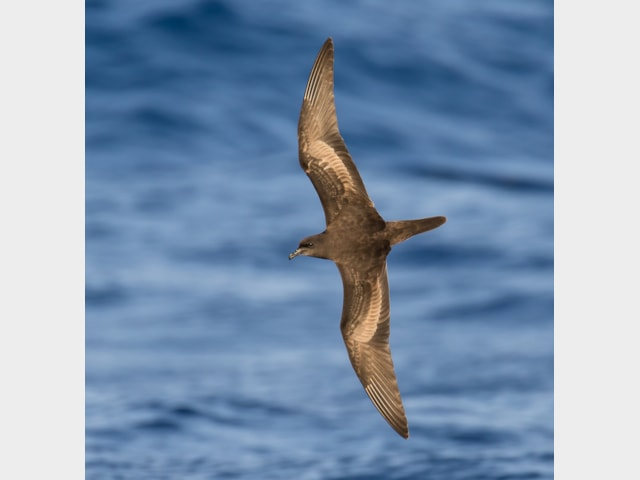 Bulwer's Petrel (Dave Grant).