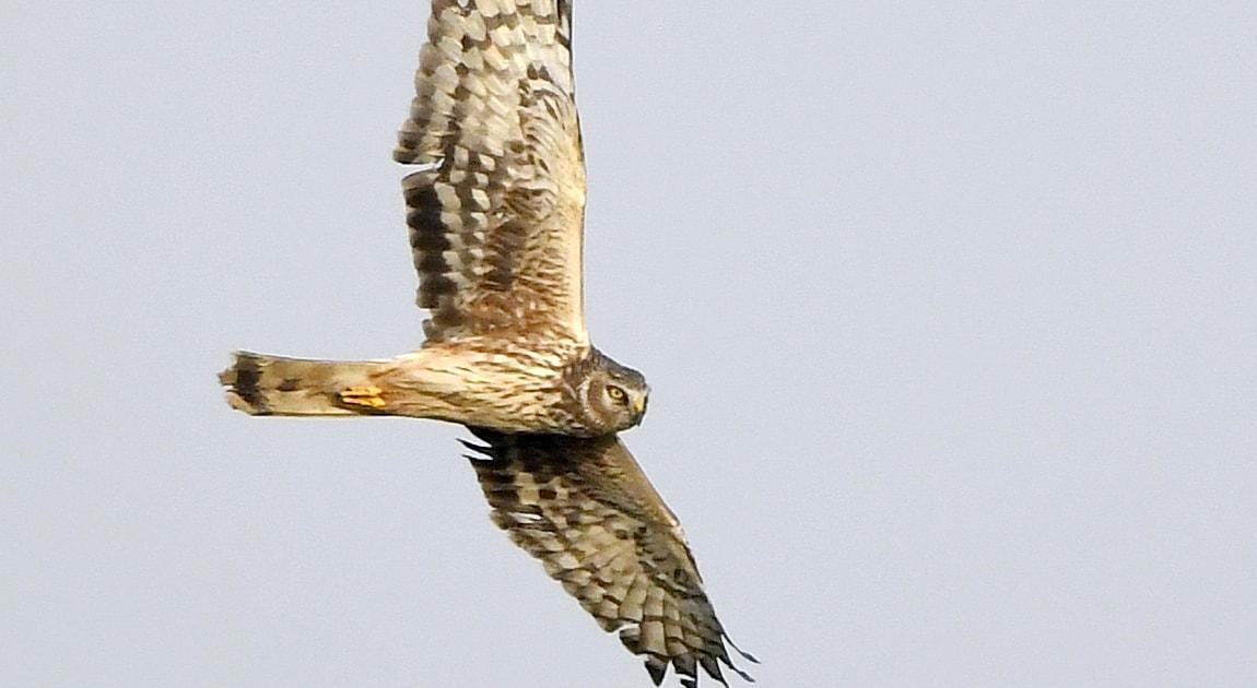 Become an RSPB bird of prey defender