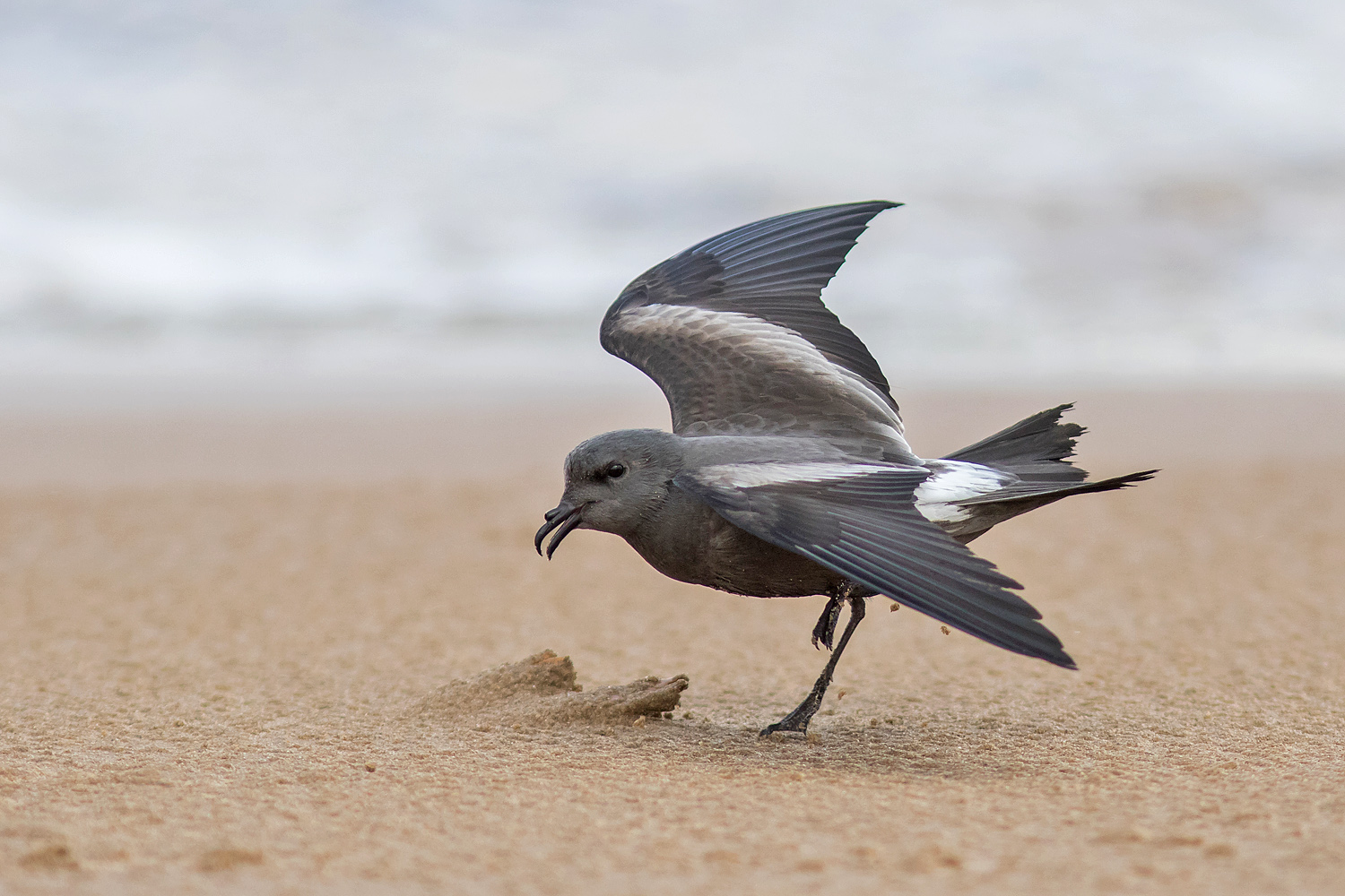 Leach's Storm Petrel, New Brighton, Cheshire, 13 September 2017 (Photo: Jack Morris)