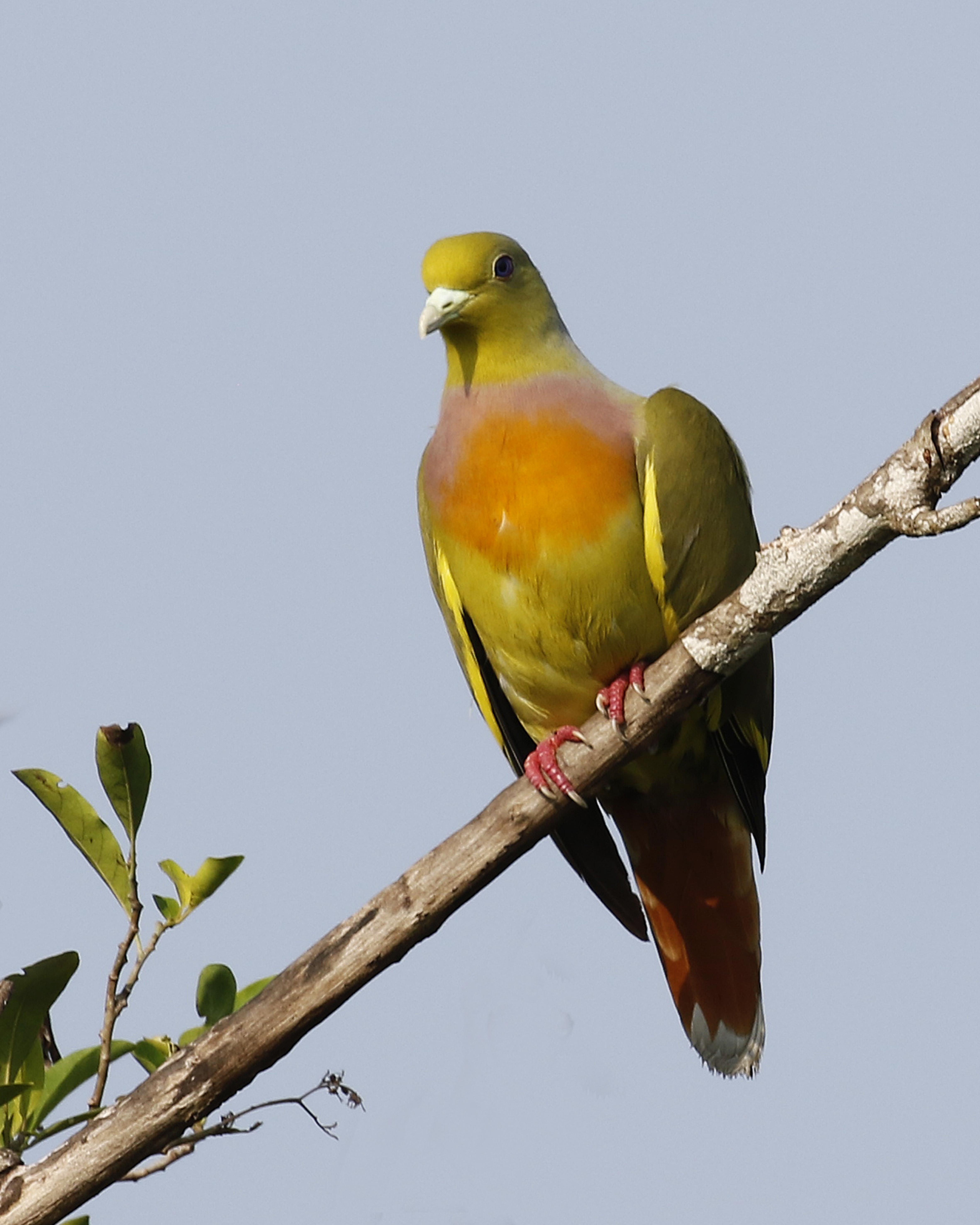 orangebreasted green pigeon by chris rose birdguides