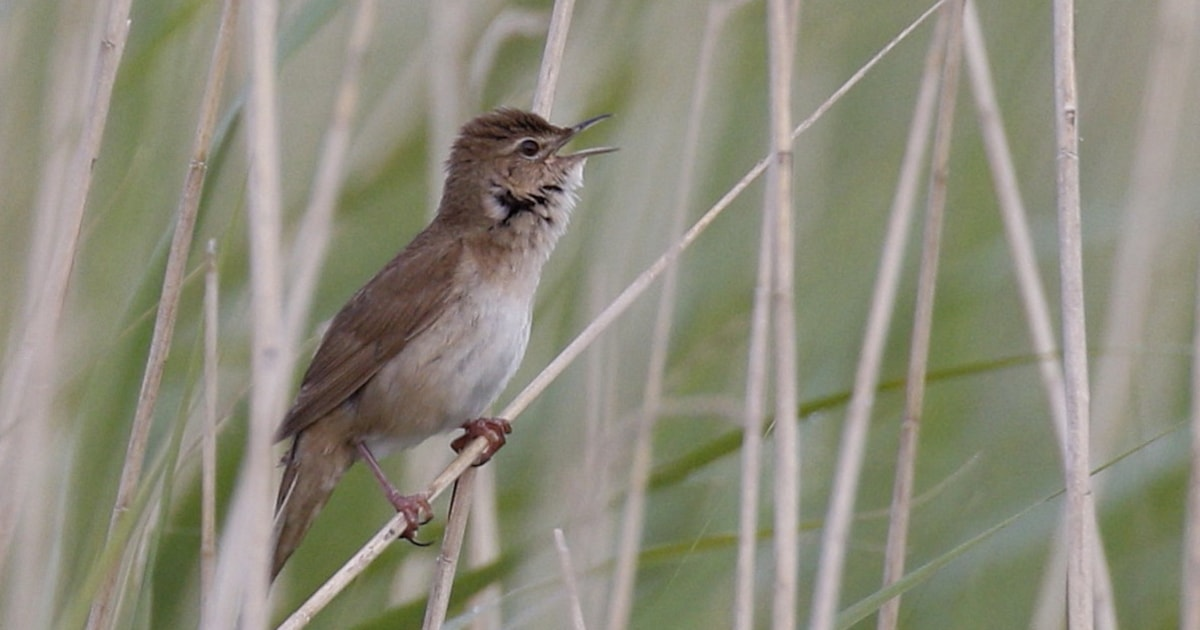 Savi's Warbler nests in Wales for first time