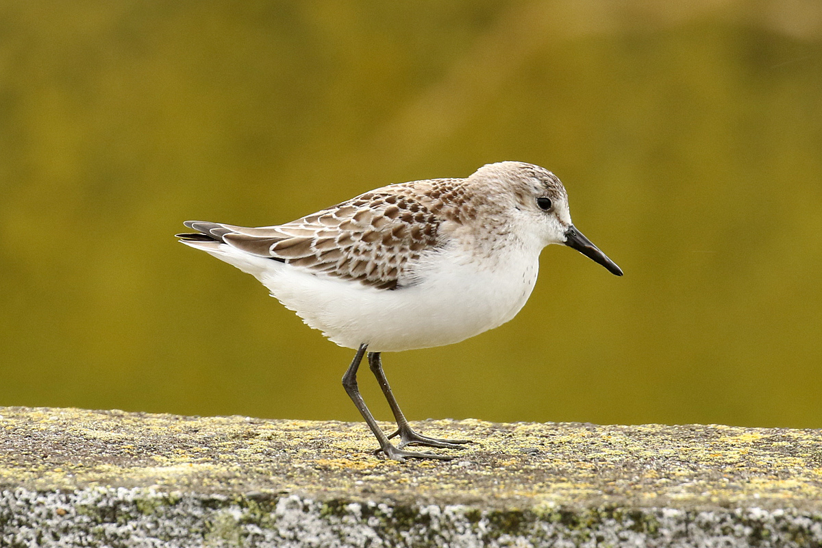 Semipalmated Sandpiper by Dominic Mitchell.